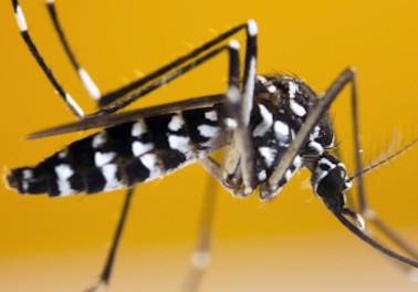Moustique tigre : Comment le signaler et lutter contre sa prolifération ?